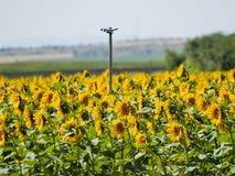 Gisement de tournesols l'été sur la floraison Photos libres de droits