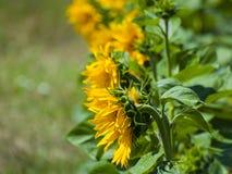 Gisement de tournesols l'été sur la floraison Photo stock