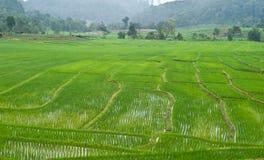 Gisement en terrasse vert de riz. Images libres de droits