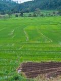 Gisement en terrasse vert de riz. Image libre de droits