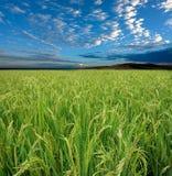Gisement et ciel de riz Photographie stock libre de droits