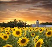 Gisement et grange de tournesol au coucher du soleil Photographie stock libre de droits