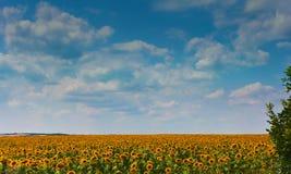Gisement et nuages de tournesol Image stock