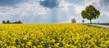 Gisement fleurissant de graine de colza Horizontal rural panoramique Napus de brassica images stock