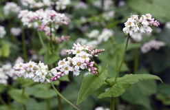 Gisement fleurissant de sarrasin image stock