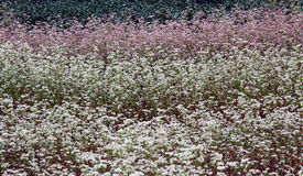 Gisement fleurissant de sarrasin photo stock