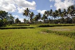Gisement indonésien de riz Images libres de droits