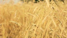 Gisement jaune d'oreilles de blé soufflant en vent Rich Harvest Wheat Field, culture fraîche des oreilles de blé clips vidéos