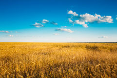 Gisement jaune d'oreilles de blé sur Sunny Sky bleu Photographie stock libre de droits