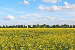 Gisement jaune de colza et ciel bleu avec les nuages légers Images stock
