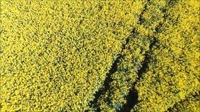 Gisement jaune de colza oléagineux banque de vidéos