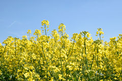 Gisement jaune de colza oléagineux sous le ciel bleu avec le soleil Photographie stock libre de droits