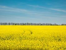 Gisement jaune de colza oléagineux sous le ciel bleu de l'Ukraine Photos stock