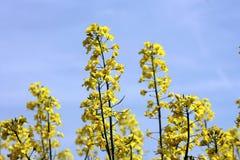 Gisement jaune de floraison de graine de colza Image stock