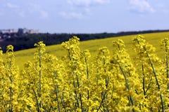 Gisement jaune de floraison de graine de colza Photographie stock