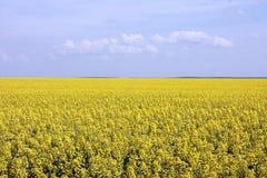 Gisement jaune de floraison de graine de colza Photo libre de droits