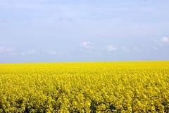 Gisement jaune de floraison de graine de colza Photo stock