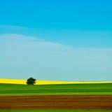 Gisement jaune de graine de colza photographie stock