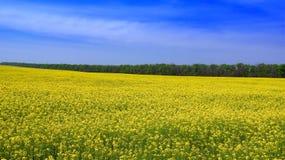 Gisement jaune de graine de colza en été. Photo stock