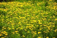 Gisement jaune de pissenlits Photo libre de droits