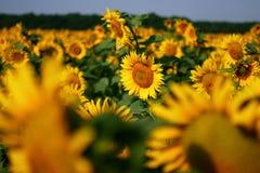 Gisement jaune de tournesol photos libres de droits