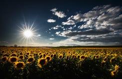 Gisement jaune de tournesol contre le ciel bleu nuageux au coucher du soleil image stock