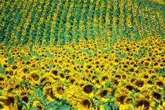 Gisement jaune de tournesols dans un jour ensoleillé Photos libres de droits