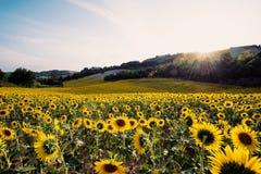 Gisement jaune de tournesols dans un jour ensoleillé Images stock