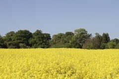 Gisement jaune vibrant de graine de colza entouré par des arbres Photo libre de droits