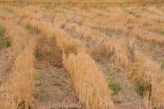 Gisement moissonné de riz Photographie stock libre de droits