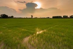 gisement Paddy-semé de riz dans la scène réglée du soleil Photos stock