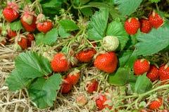 Gisement pittoresque de fraise au jour d'été Images stock