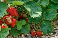 Gisement pittoresque de fraise au jour d'été en Allemagne Image stock