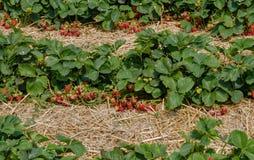 Gisement pittoresque de fraise au jour d'été en Allemagne Images stock