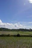 Gisement récemment planté de riz avec le fond de palmiers Photos stock