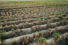 Gisement sec de pomme de terre image stock