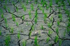 Gisement sec de riz Image libre de droits