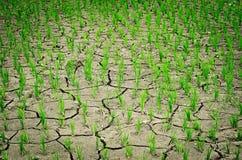 Gisement sec de riz Photographie stock