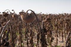Gisement sec de tournesol Photo libre de droits