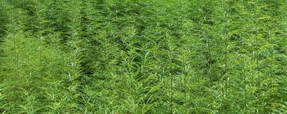 Gisement technique de marijuana en Autriche Images stock