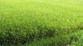 Gisement vert abondant de riz Photographie stock libre de droits