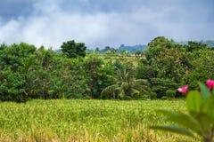 Gisement vert de riz Photographie stock