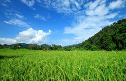 Gisement vert de riz Photos libres de droits