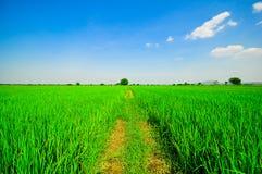 Gisement vert de riz Photographie stock libre de droits
