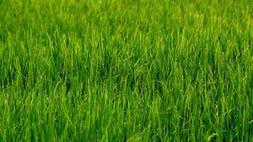 Gisement vert de riz banque de vidéos