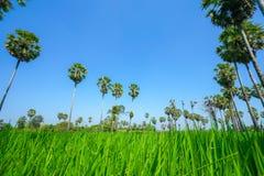 Gisement vert de riz avec le ciel bleu Photographie stock