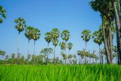 Gisement vert de riz avec le ciel bleu Photographie stock libre de droits