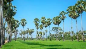 Gisement vert de riz avec le ciel bleu Photos libres de droits