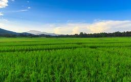 Gisement vert de riz avec le fond de montagnes sous le ciel bleu Image libre de droits