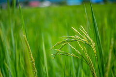 Gisement vert de riz avec le fond de nature et de ciel bleu Photo stock